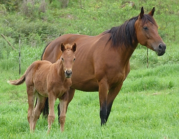 Mare and foal at Greenhill Farm, 2012. Image: Taryn Crawford