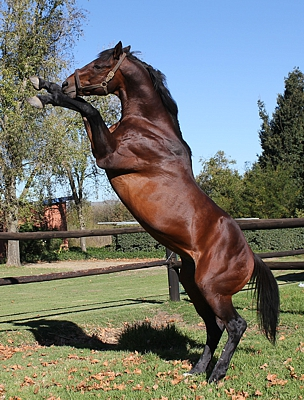 Kahal in his paddock at Bush Hill. Image: Candiese Marnewick