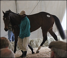 Lot 74 Artistically Done, top-selling horse-in-training. Image: Candiese Marnewick