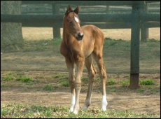 A.P. Answer First Foal at Yellow Star Stud