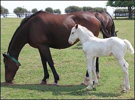Unusual Foal Born At Milkwood Stud