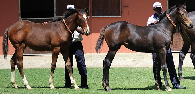 Irish Flame foals 2014. Image: Candiese Marnewick