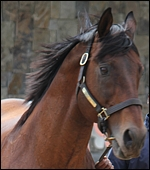Kahal G1 Goldmine stallion match - follow the link to compare your mares. Image: Michael Marnewick