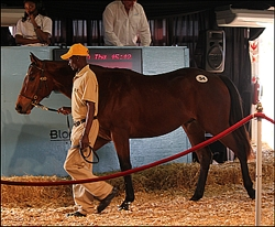 Placido as a yearling in the sales ring at Suncoast, where he sold for R85 000. Image: Candiese Marnewick