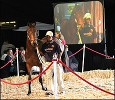 That So Atso in the KZN Yearling sales ring at Suncoast last year. She went out to win on debut, and a first for her sire Atso(USA). Image: Candiese Marnewick/MMVII