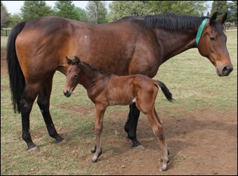 War Echo and her Ravishing filly at a day old