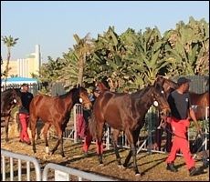 Yearlings on excercise at last year's sale, next to the promenade at Suncoast. Image: Candiese Marnewick/MMVII